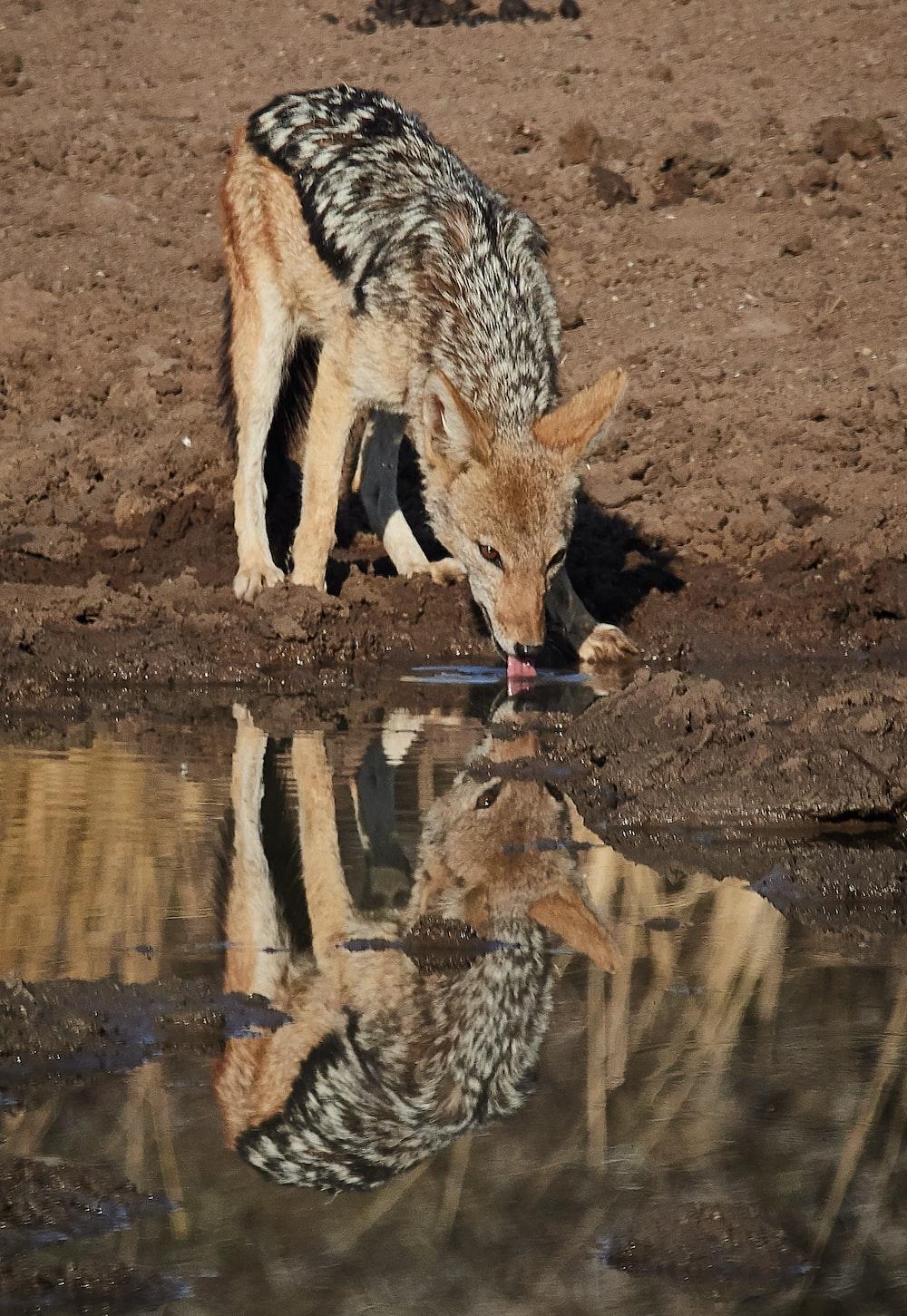 brown and black 4-legged animal drinking water during daytime