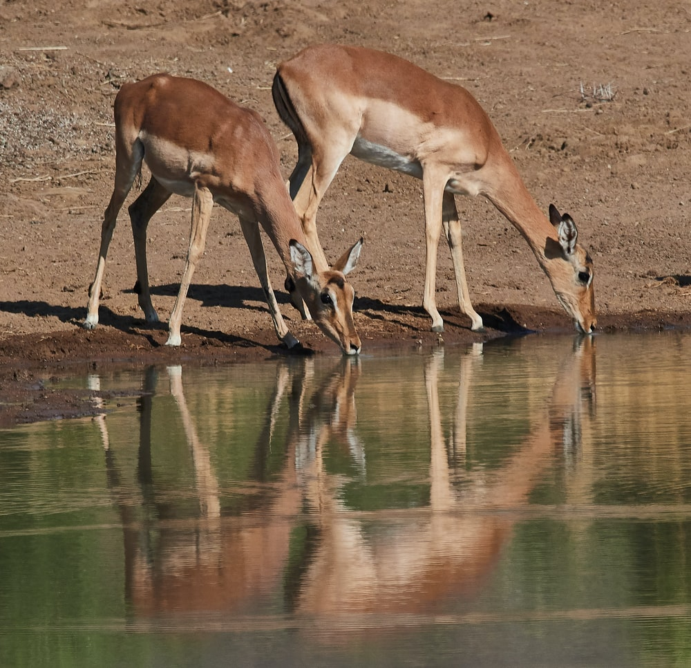 two deer drinking water on river