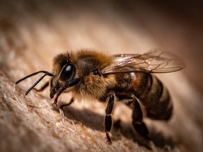 Honey bee macro shot ( Apis, Apidae )