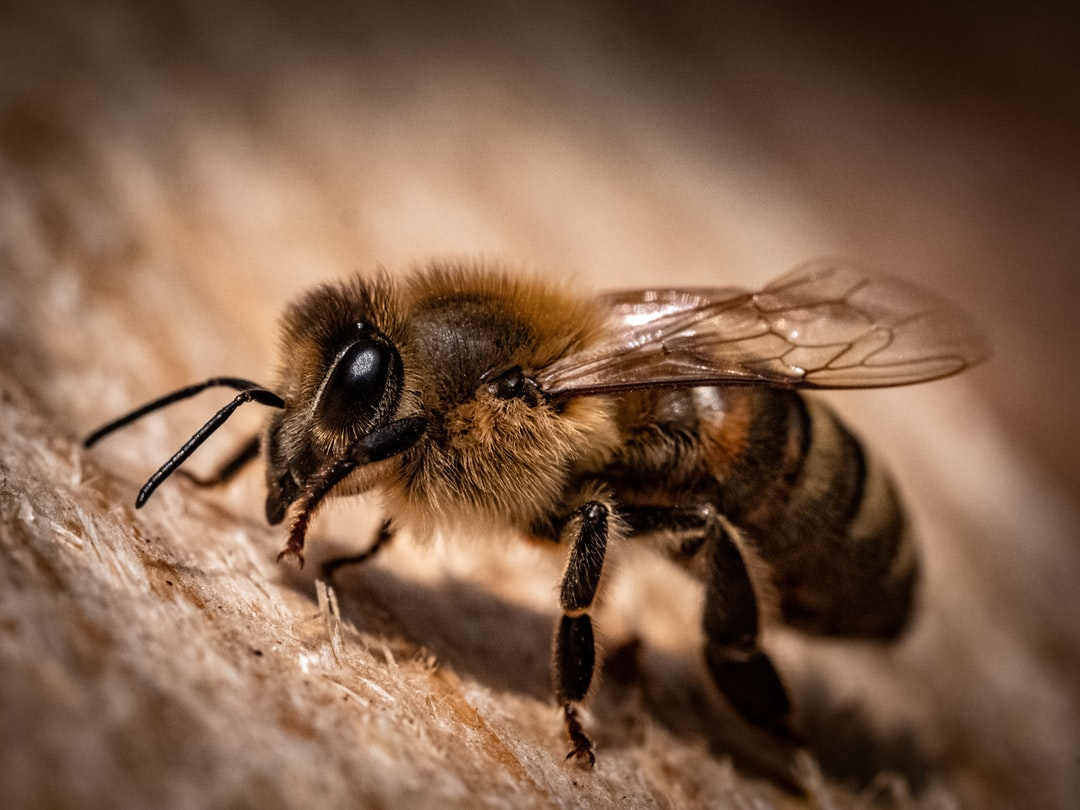 Honey bee macro shot ( Apis, Apidae )