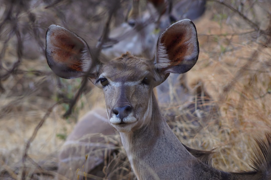 Female kudu at the Pilanesberg National Park, South Africa.