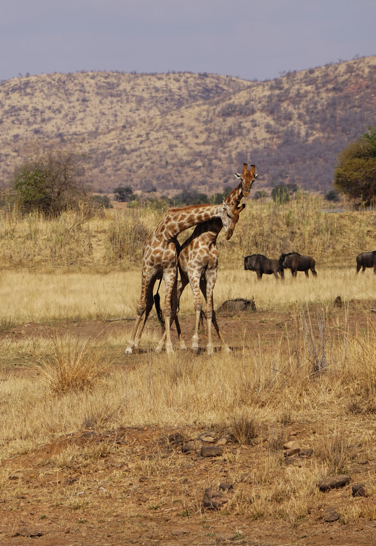 giraffe near mountain during daytime