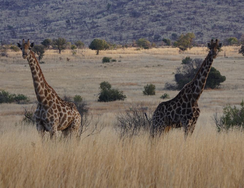 2 giraffes on grassland
