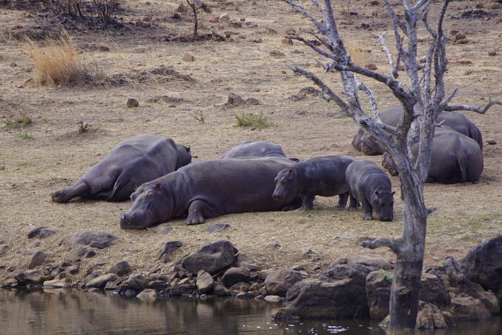 black hippopotamus