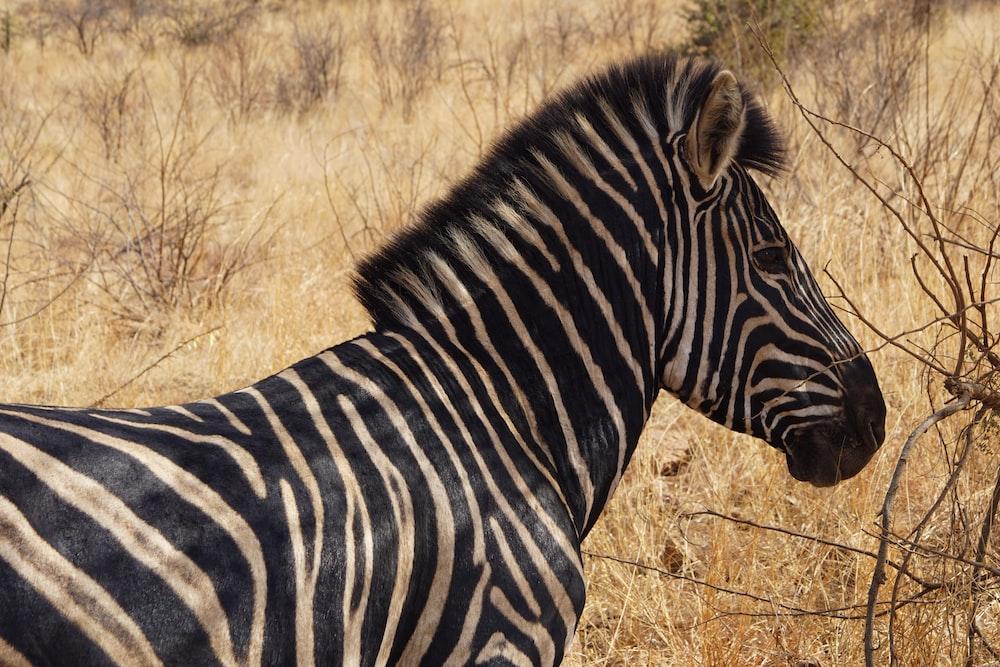 adult zebra on grass field