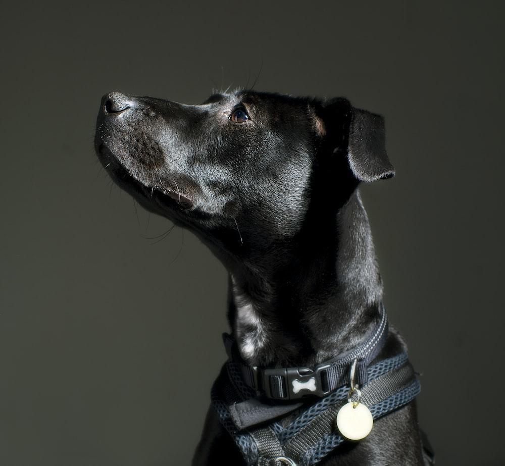 adult black Labrador retriever with black collar