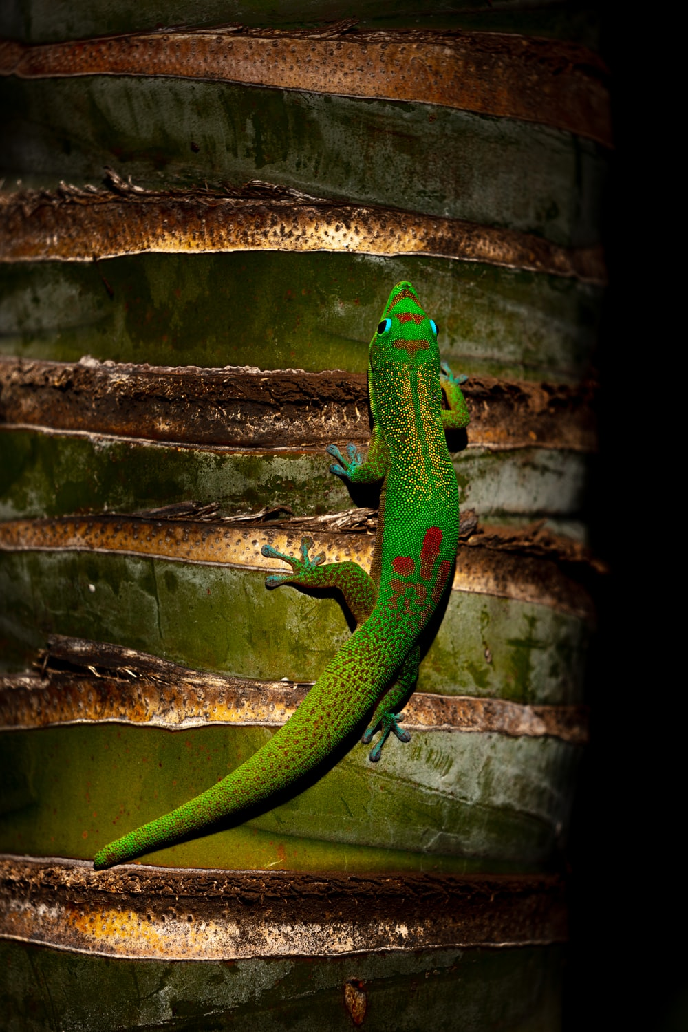 green and red gecko