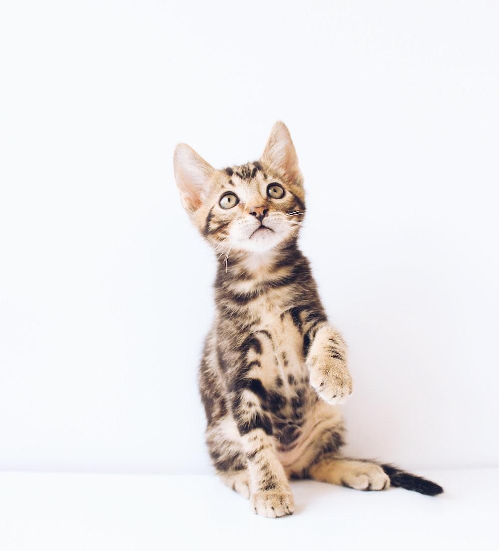 brown tabby kitten looking up