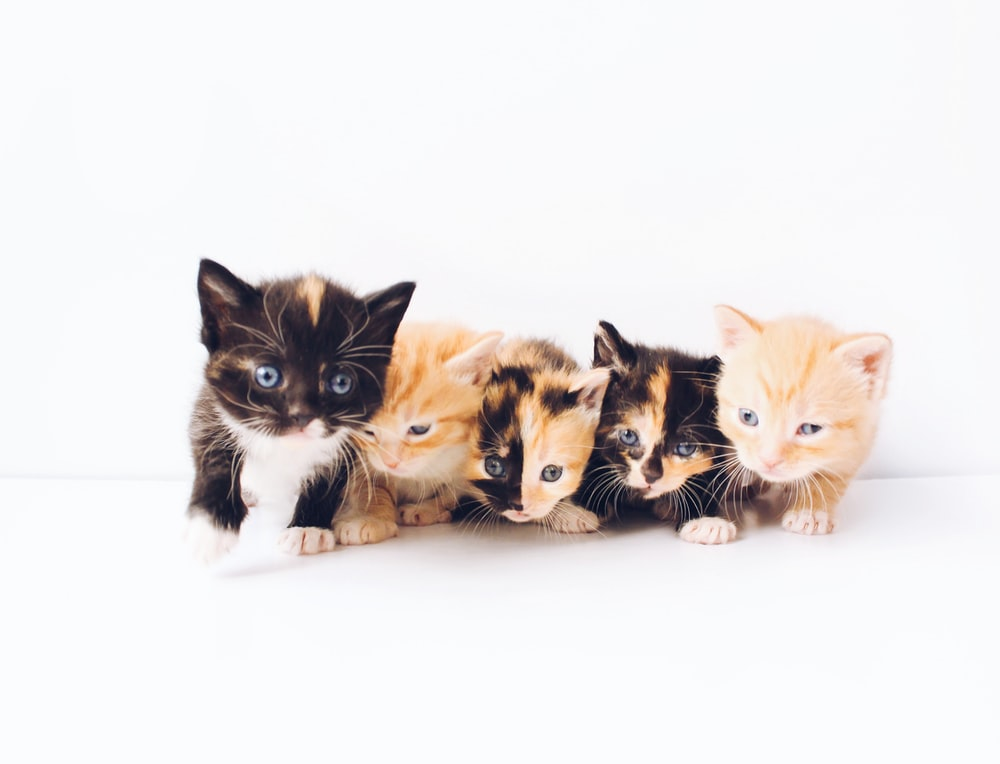 assorted-color tabby kittens