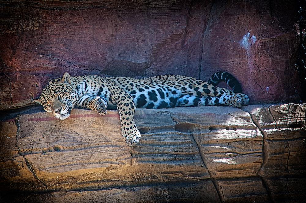 leopard sleeping on rock