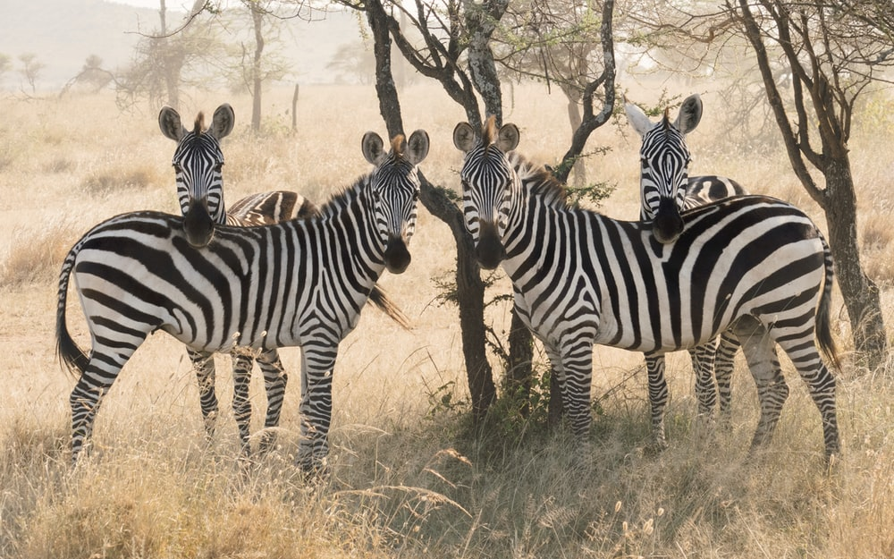 four black-and-white zebras surrounded by grass