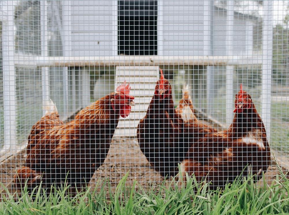 two brown roosters in a cage