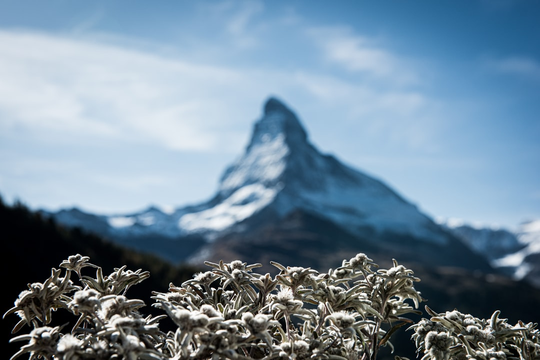 Edelweisses with fuzzy Matterhorn in the background  (Zermatt, Switzerland).