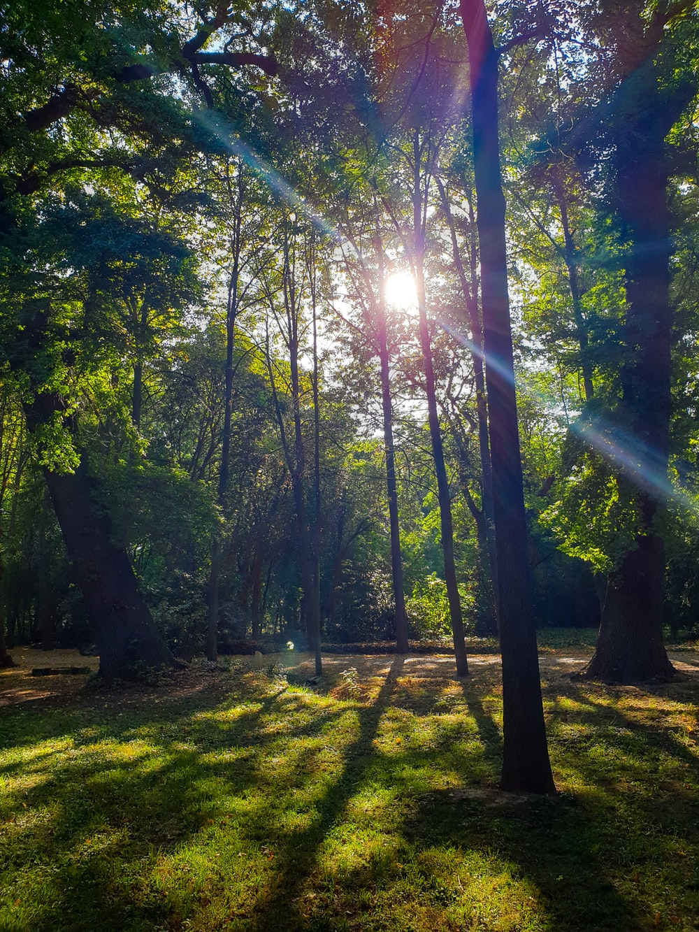 sun rays coming through tall and green trees during daytime