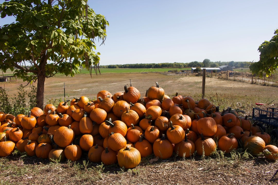 Pumpkin batch at Red Wagon Farm in Boulder, CO.