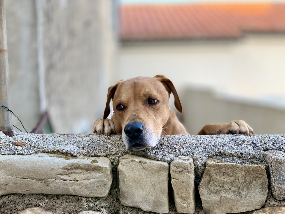 short-coated brown dog leaning on wall