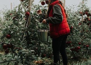 person picks fruits