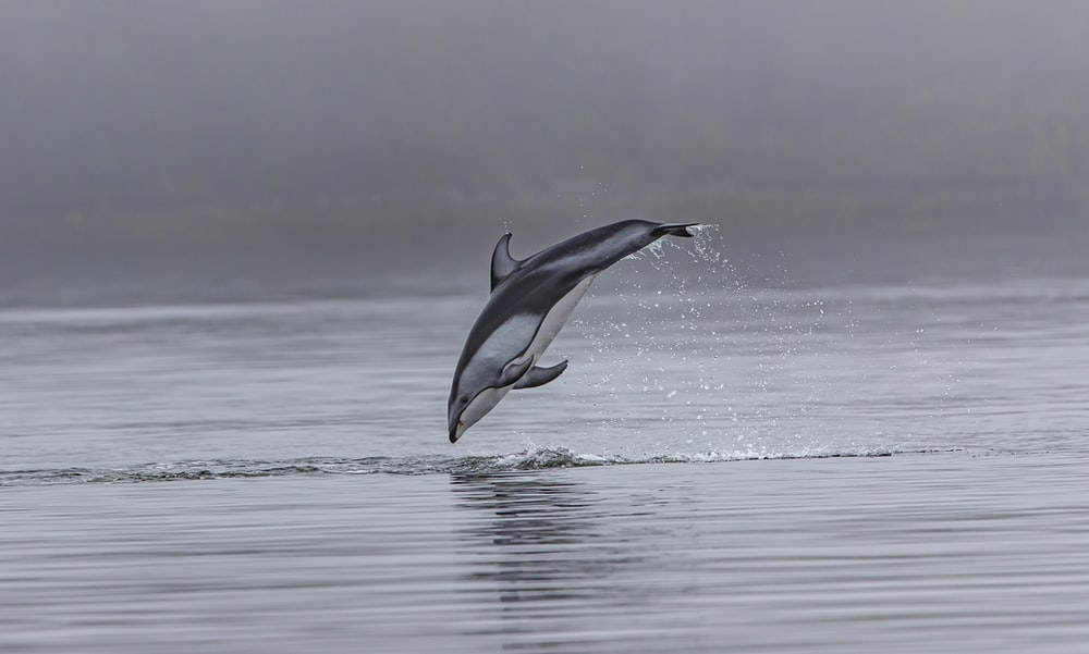dolphin jumping out of body of water
