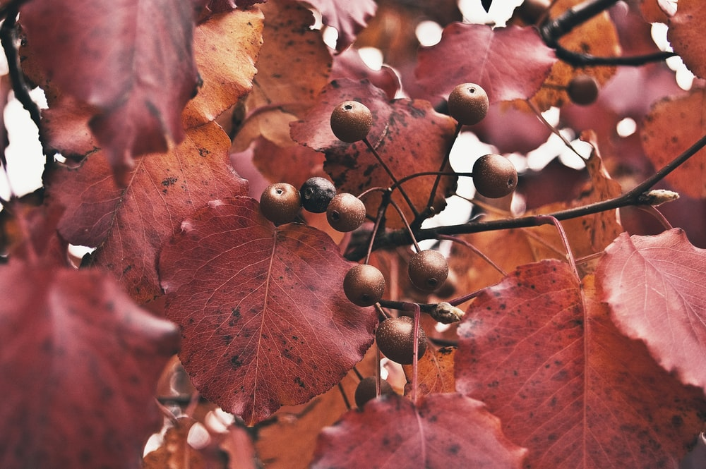 red round fruit with red leaf tree close up photo