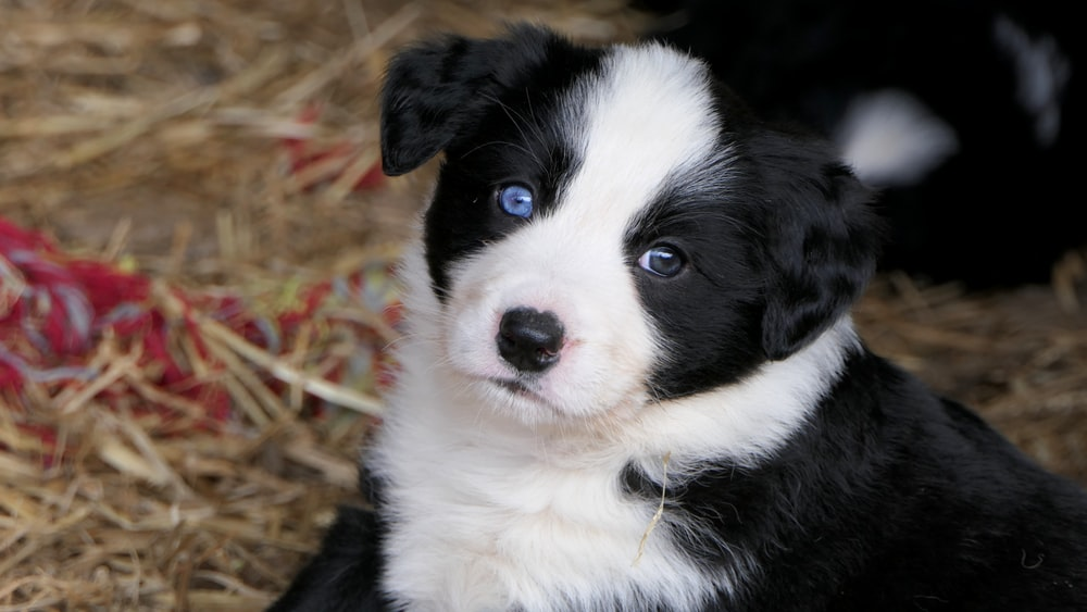 shallow focus photo of long-coated black and white puppy