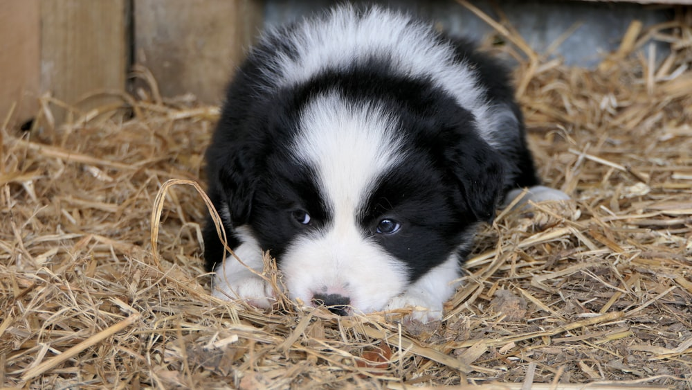 puppy lying on brown hay
