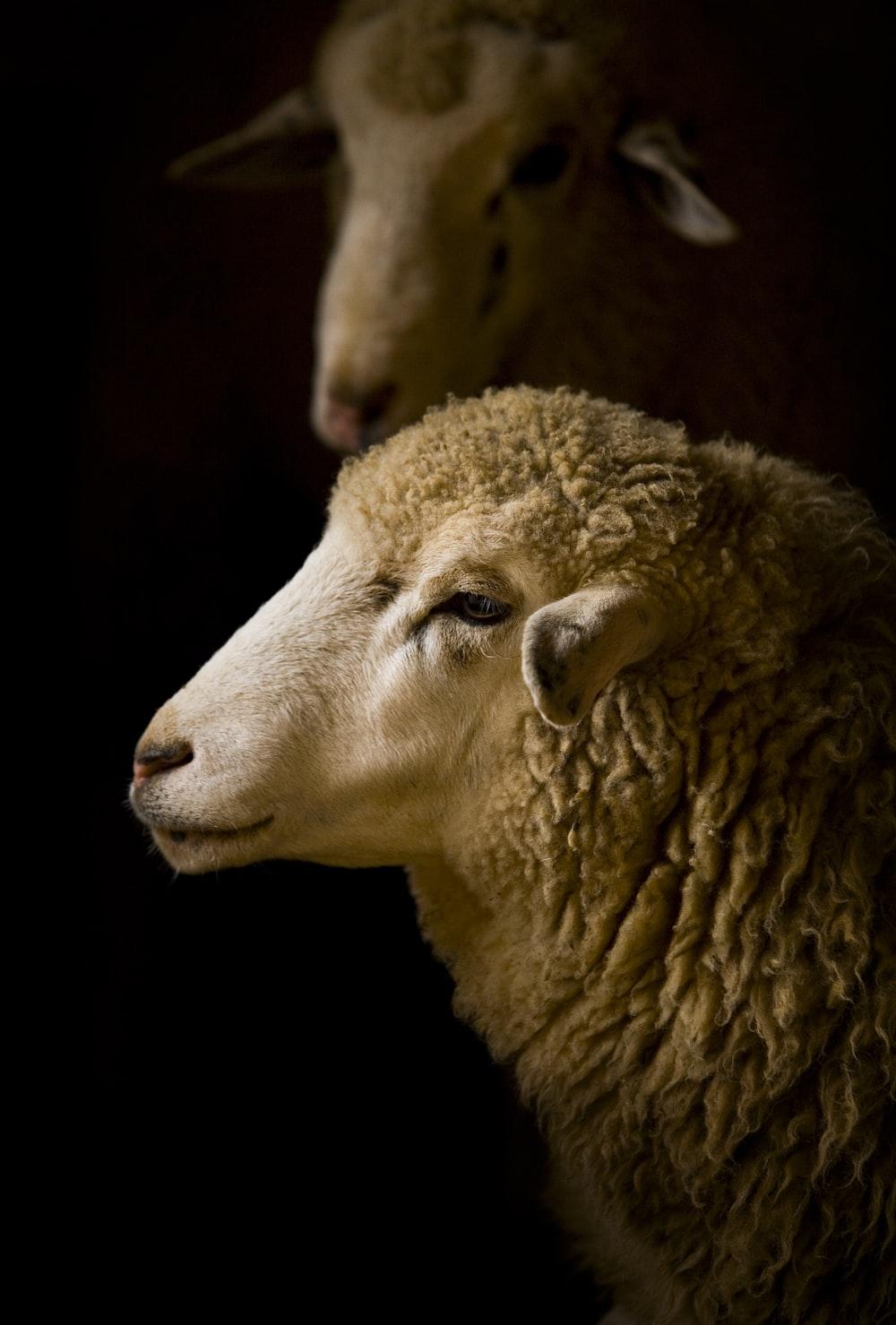 white sheep macro photography