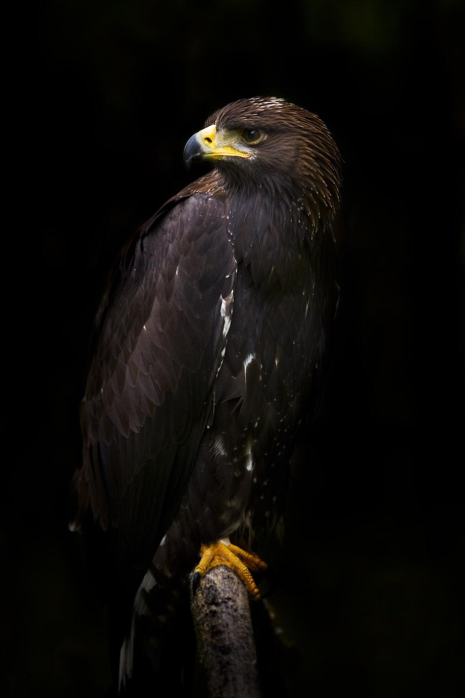 black hawk on tree