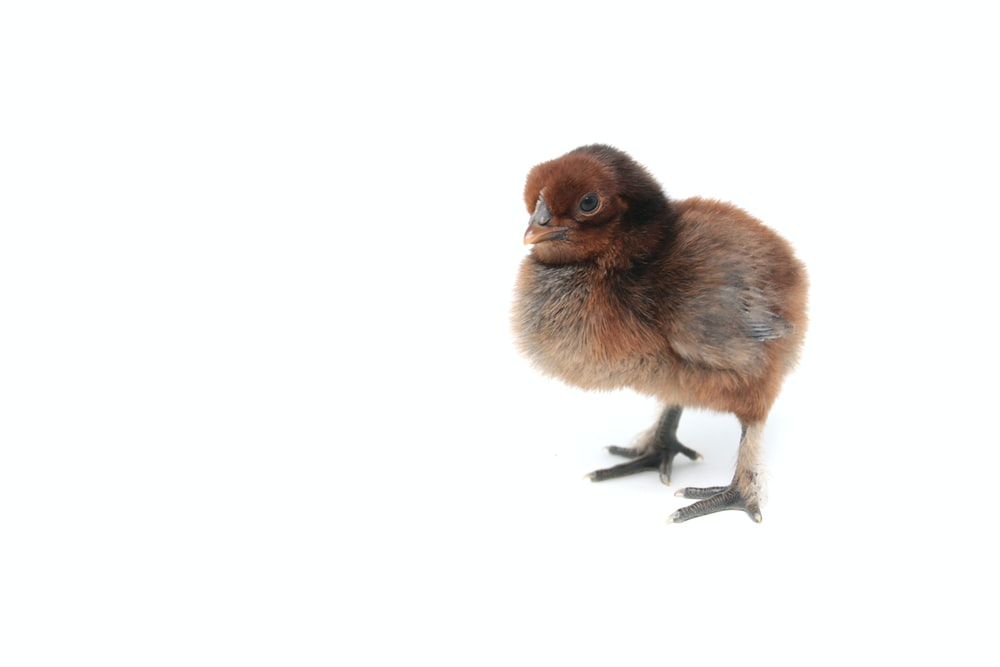 brown chick