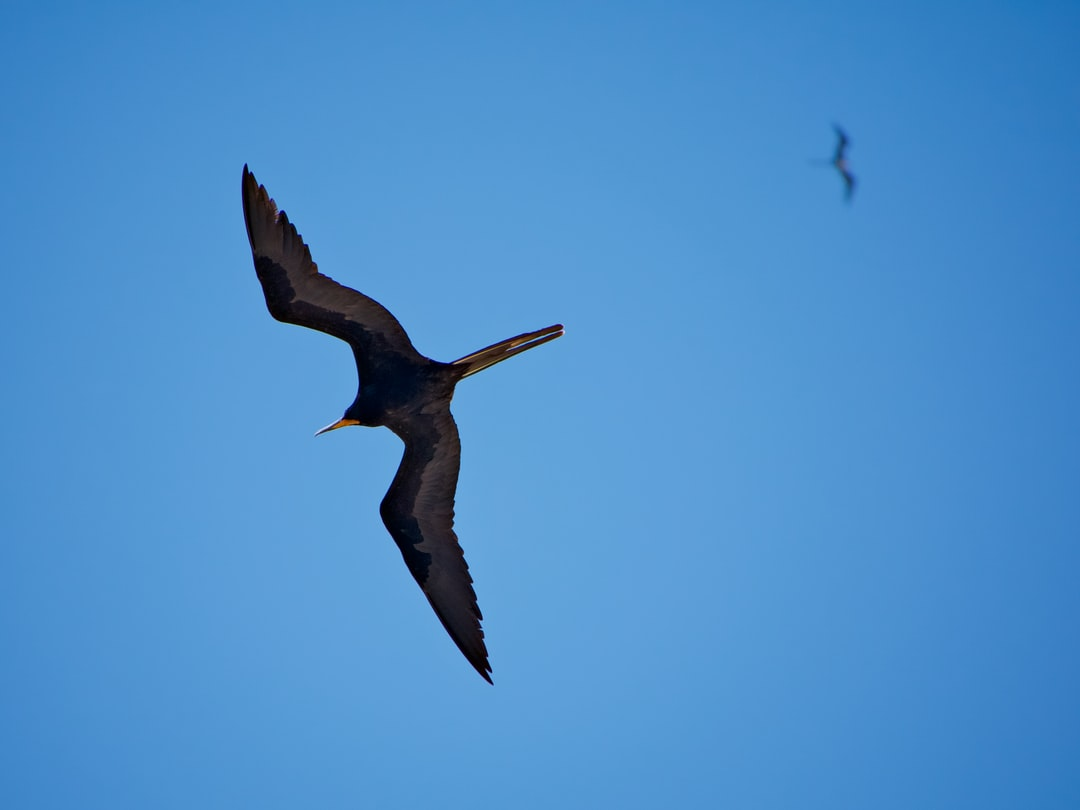 Frigate bird flying overhead with another in the background.