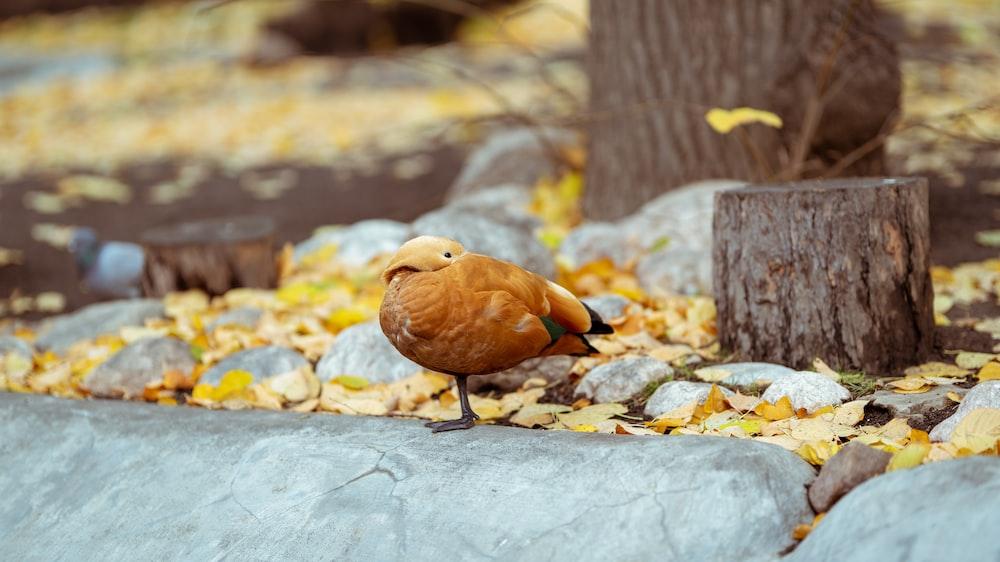 brown bird standing on gray rock