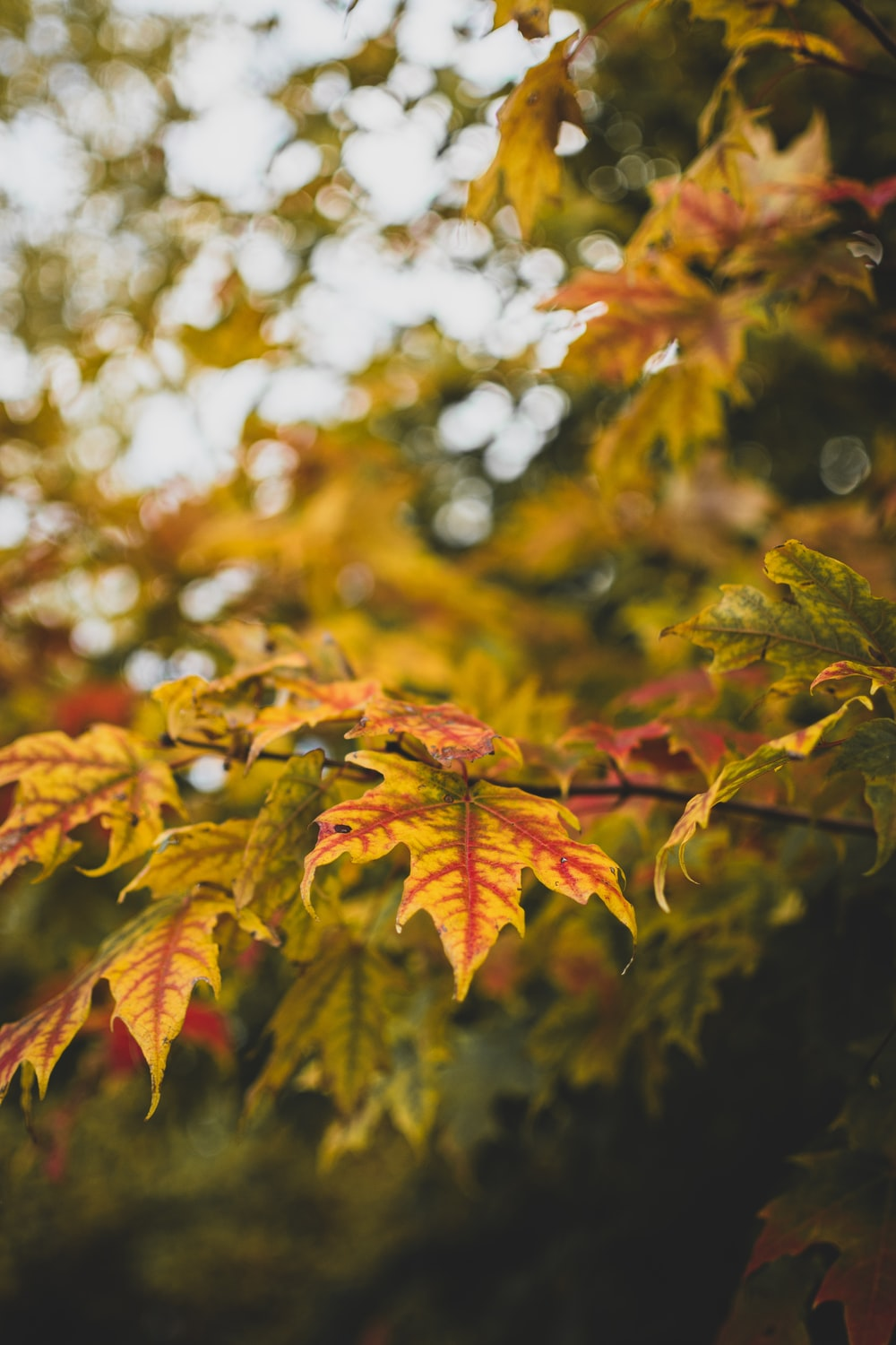 selective focus photography of maple leaves
