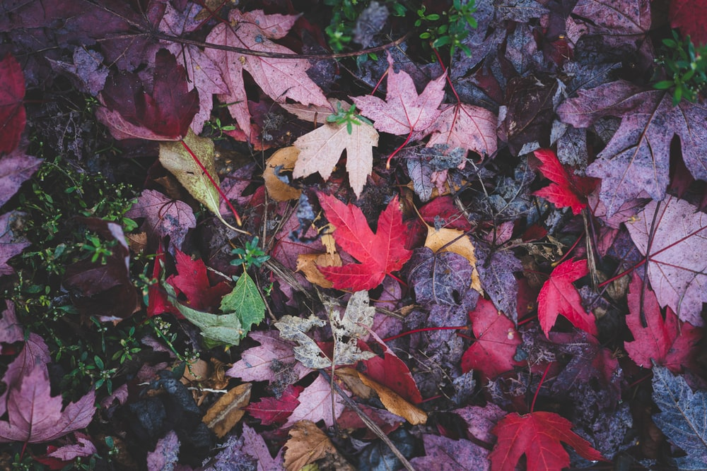 assorted-color maple leaves on ground