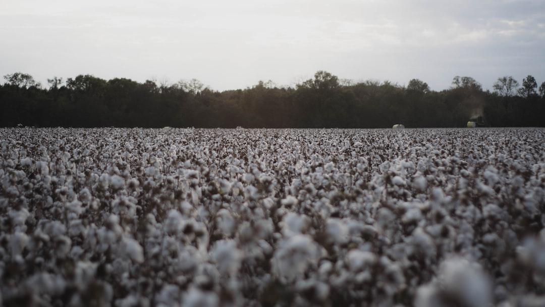 Fall Cotton Field