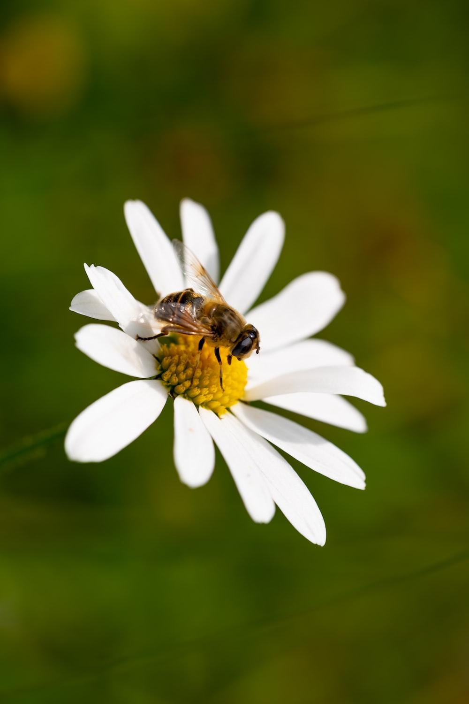 bee perch on daisy flowe