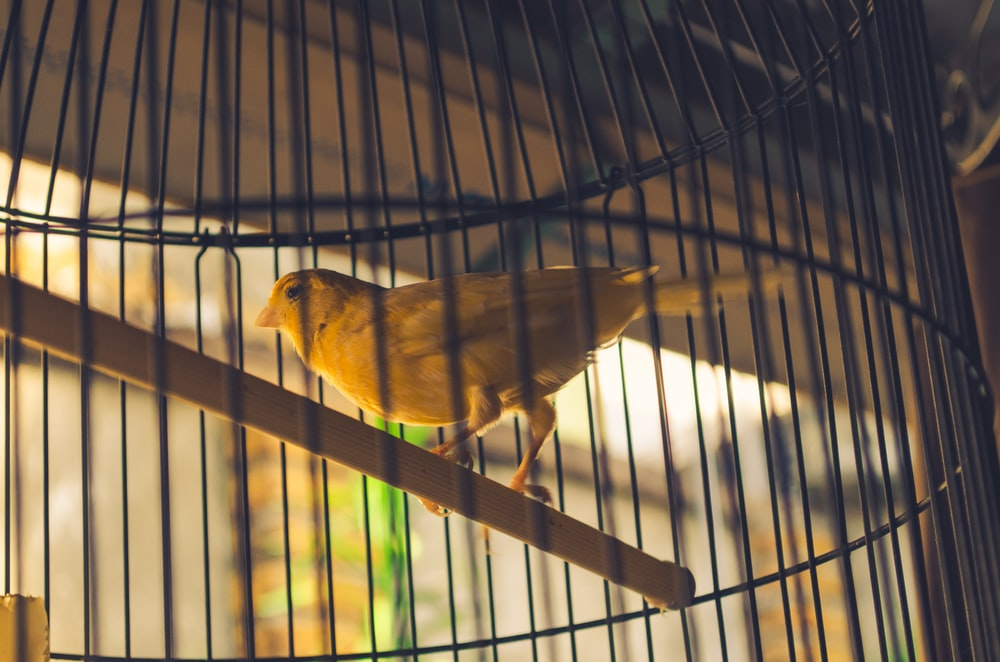 yellow bird in cage