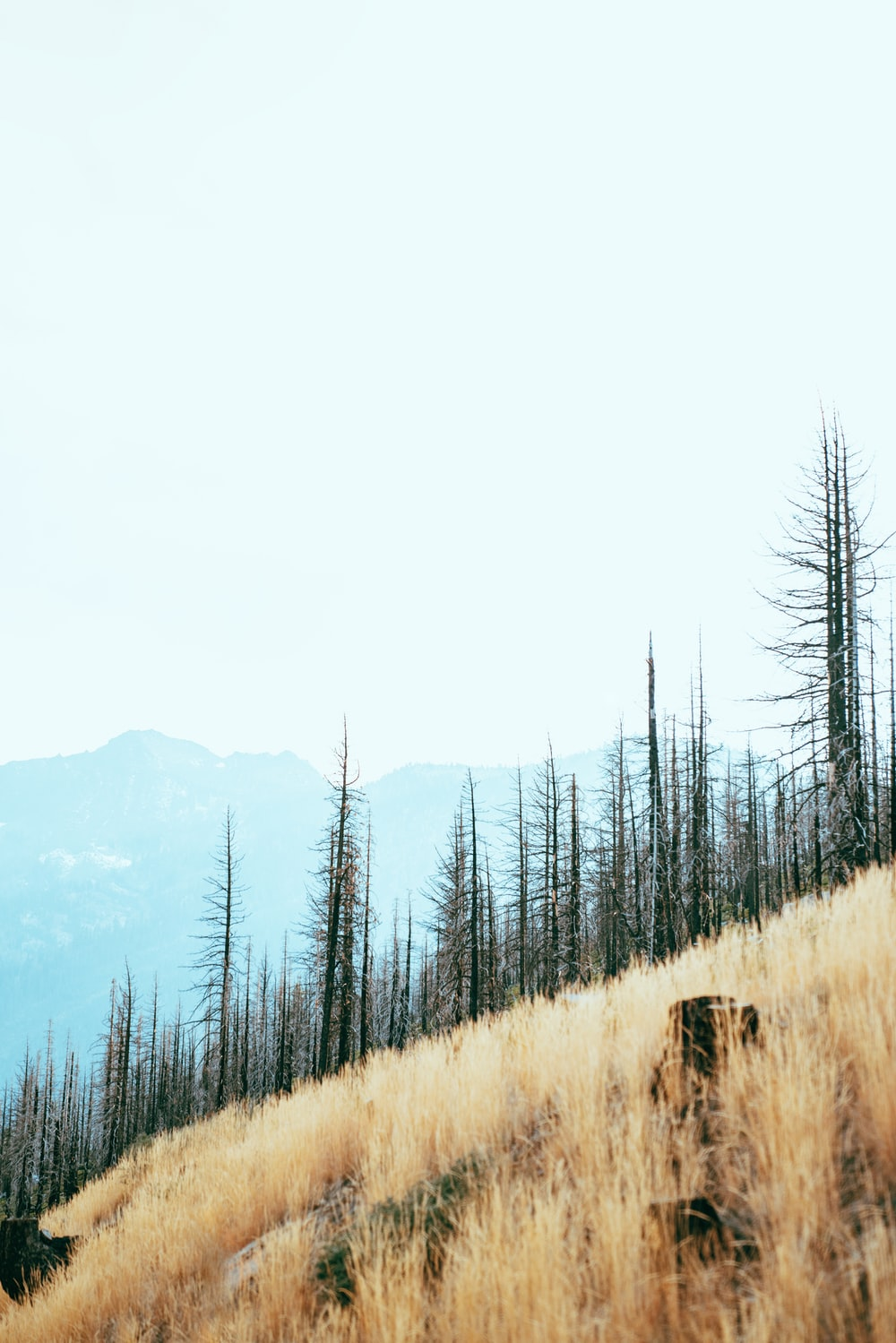 withered trees on mountain