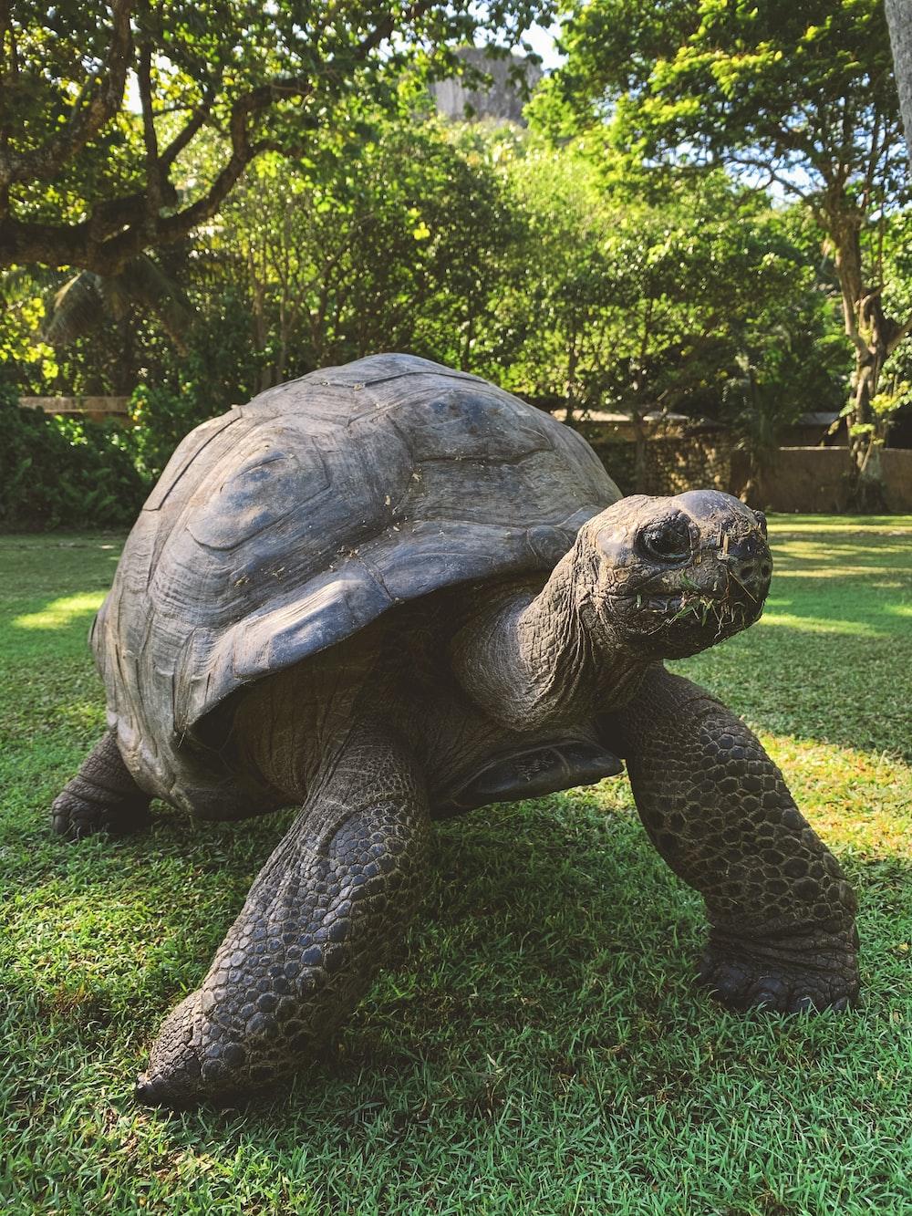 brown tortoise walking in grass
