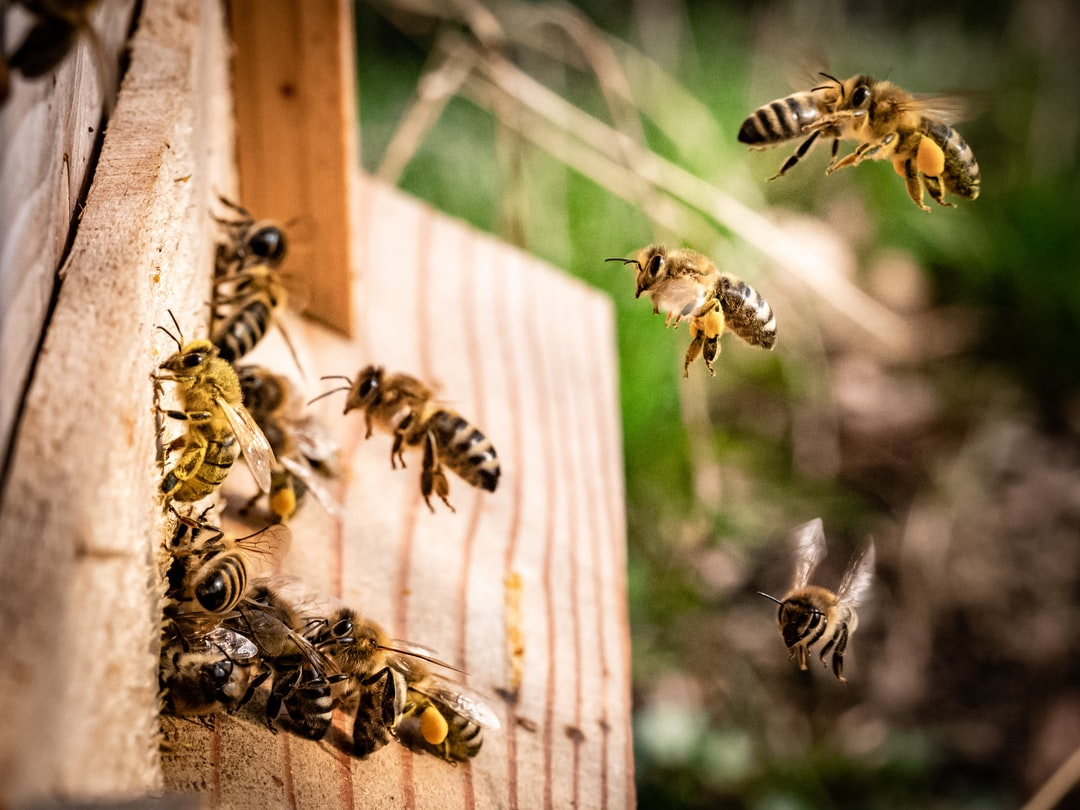Honey bees flying into beehive macro shot, macrophotography ( Apis, Apidae )