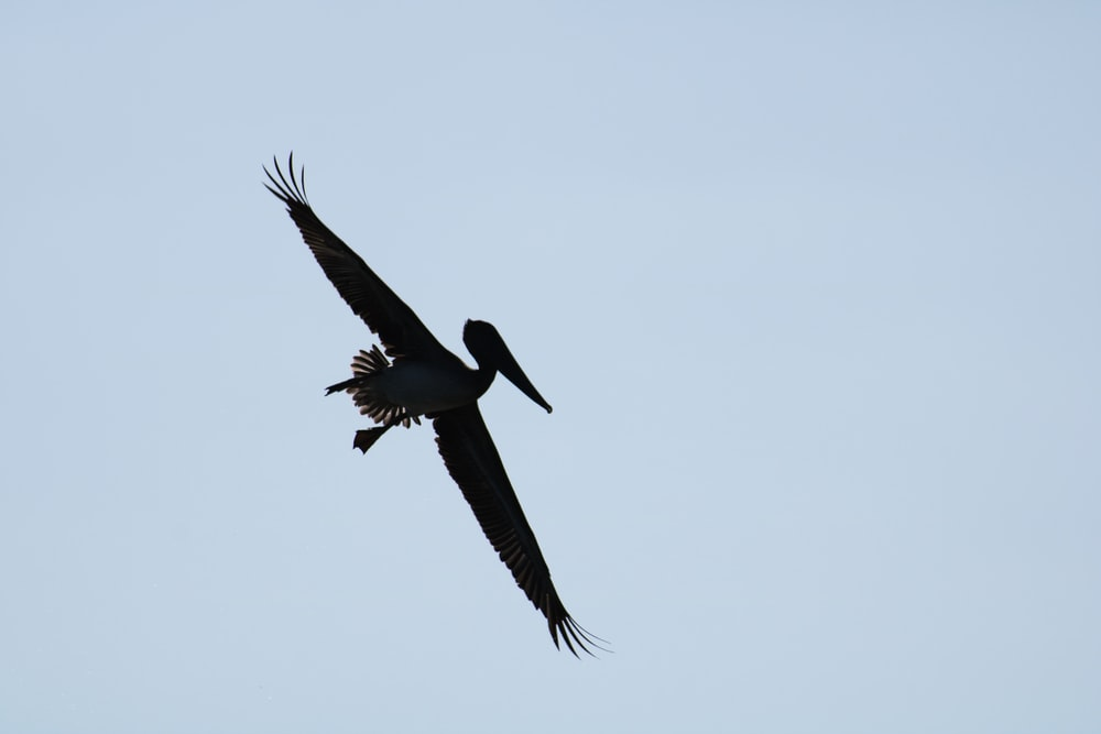 silhouette of flying pelican