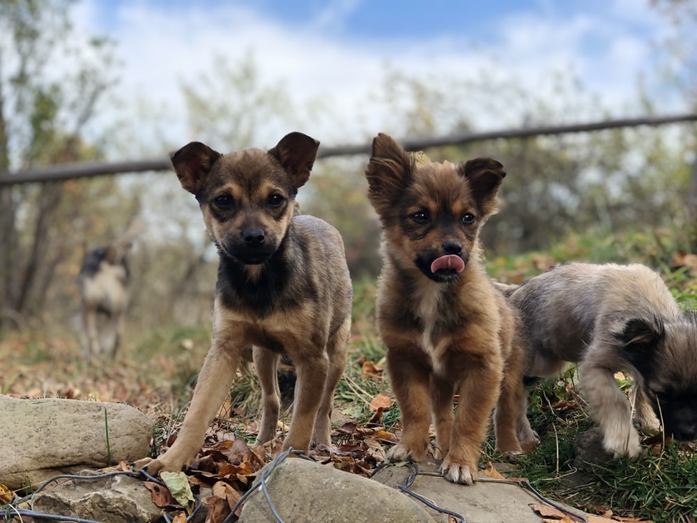 two short-coated brown puppies