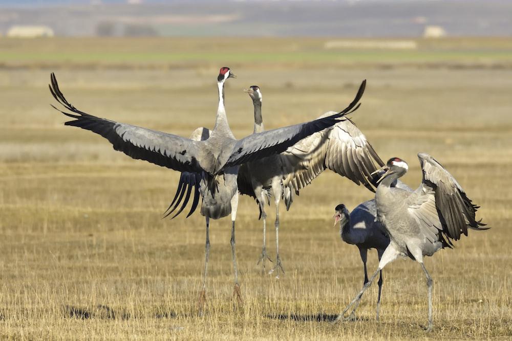 four gray birds on field