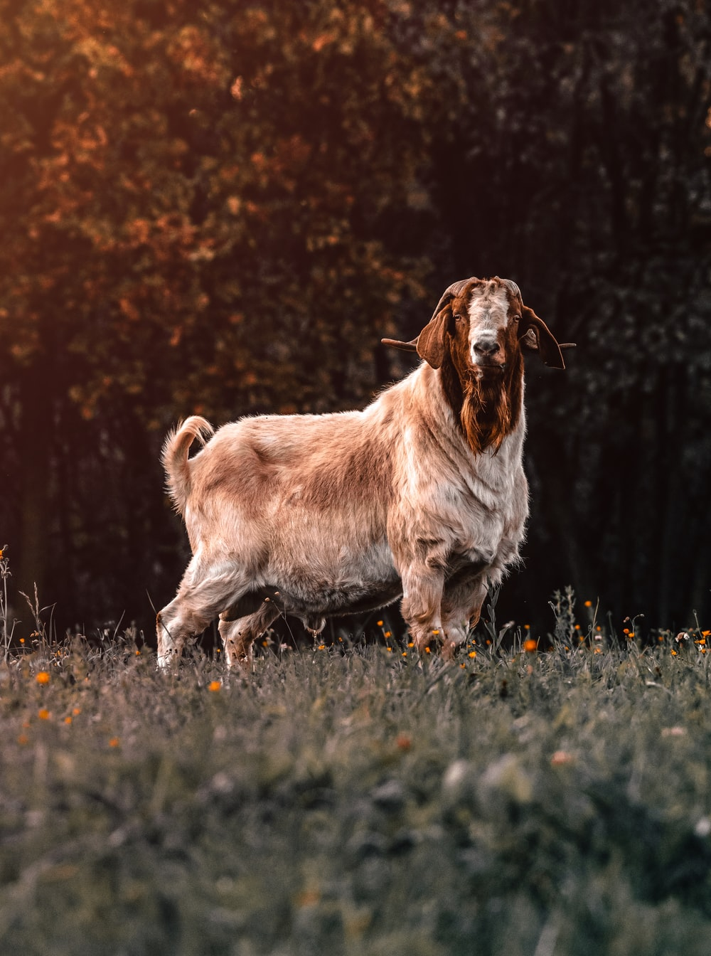 brown and gray goat