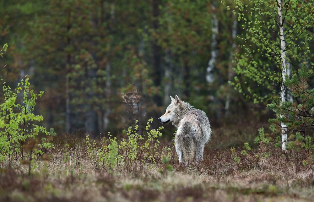 wolf standing near plants