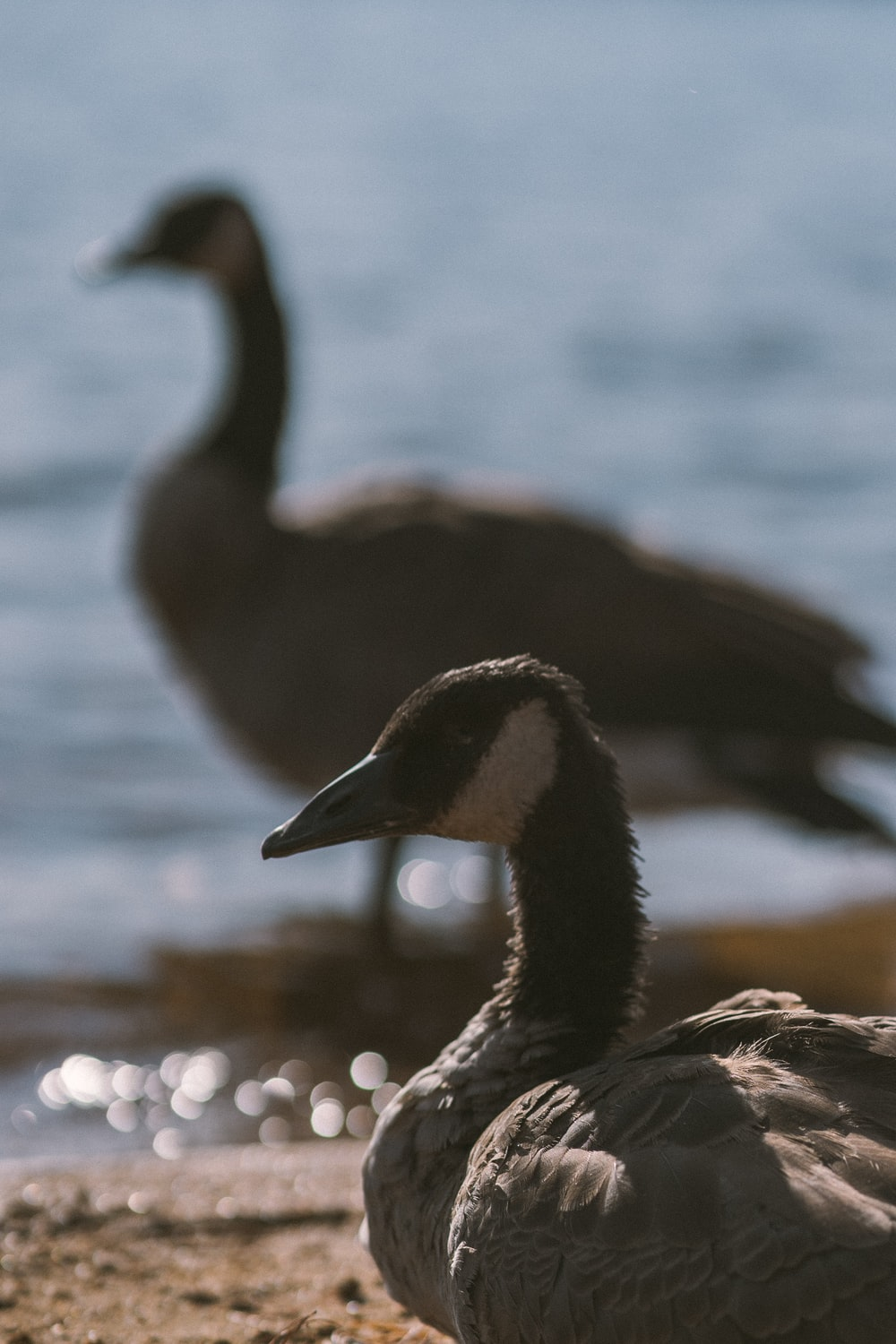 two goose at beach