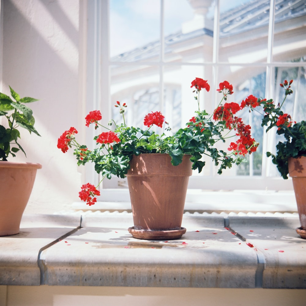 red petaled flowers in brown pot