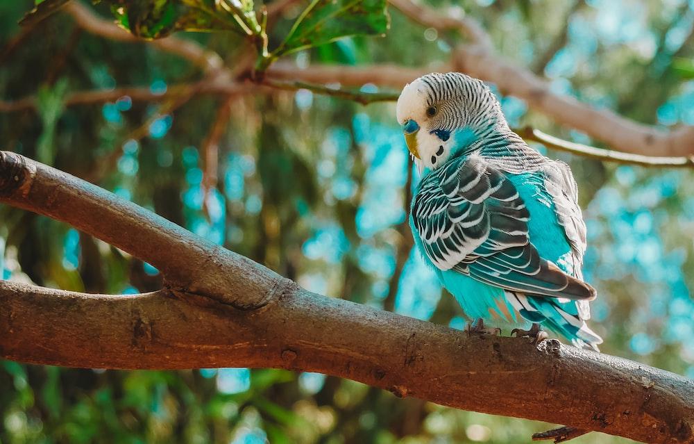 blue, black, and white budgerigar bird on tree