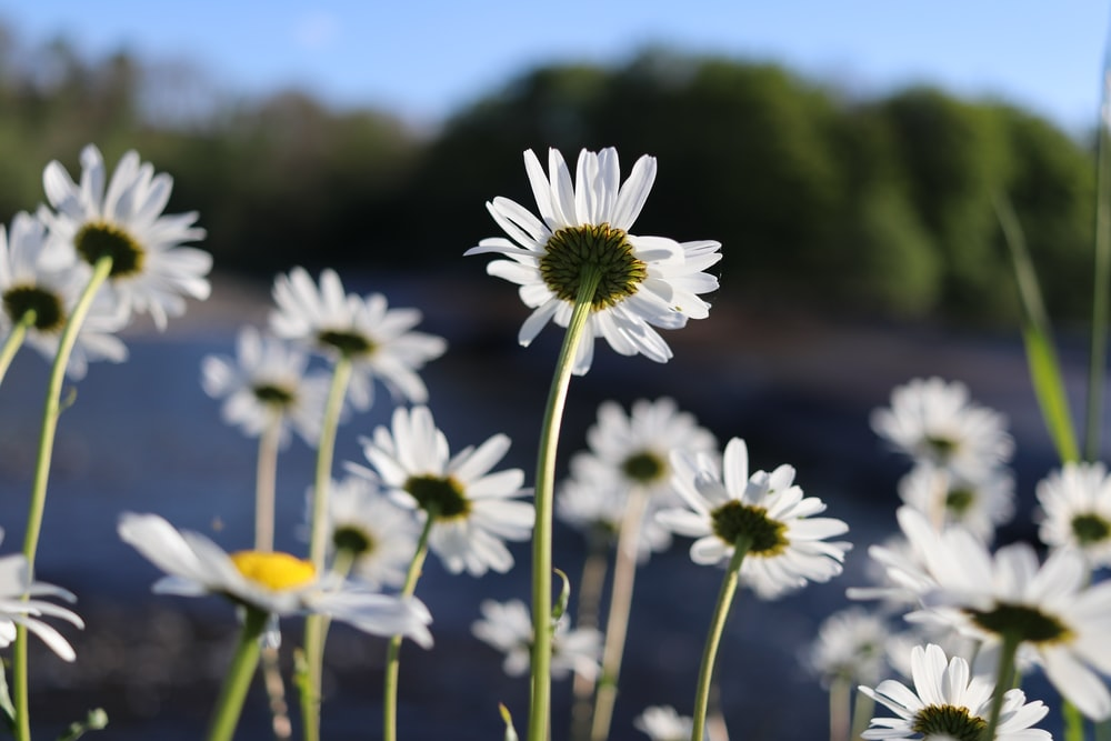 macro photography of white daisies during daytime