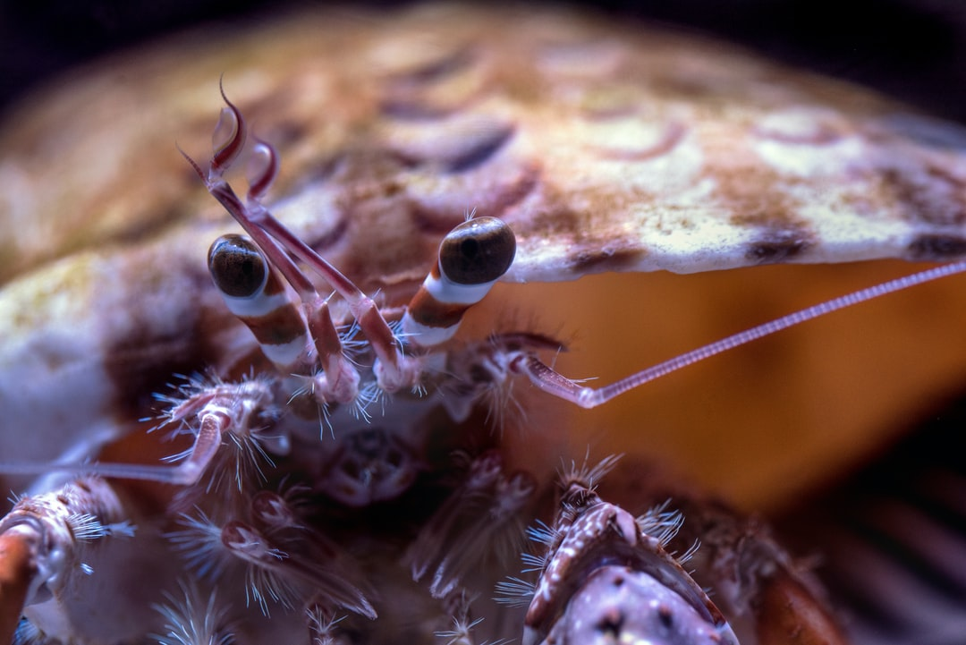 Close up of an inquisitive crab which has popped its head out of its shell.