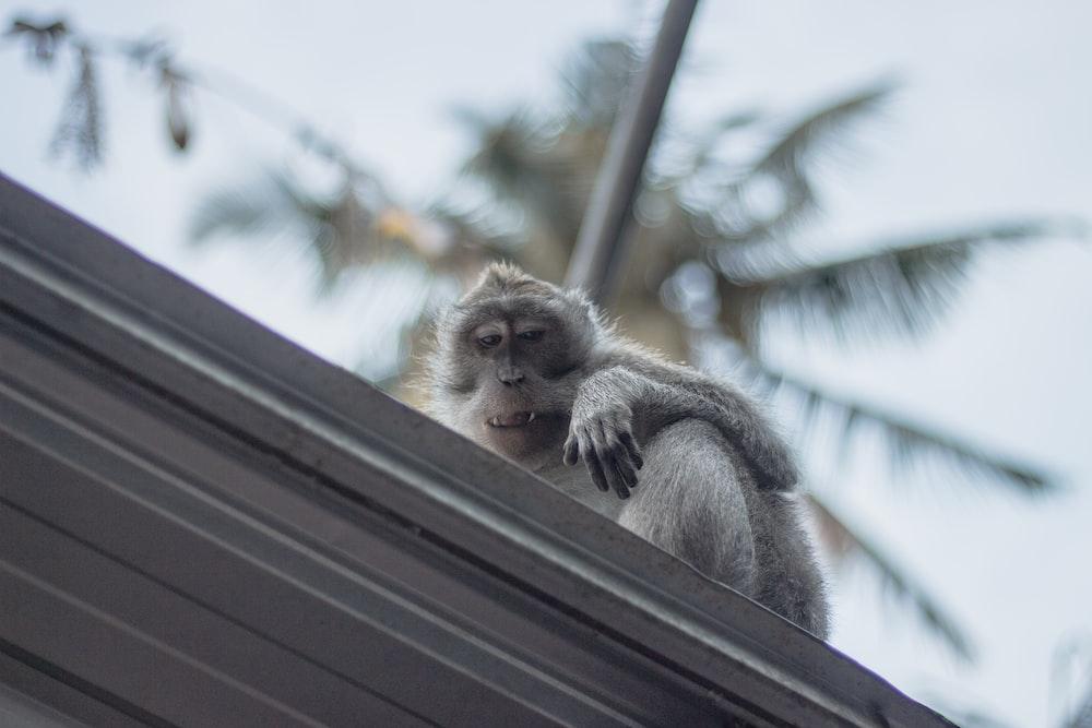 monkey on roof