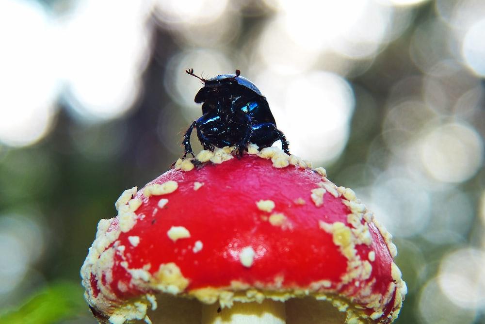 black dung beetle on red agaric mushroom